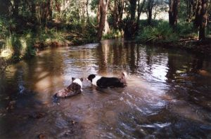 Misty & Dotty enjoying a swim in our creek