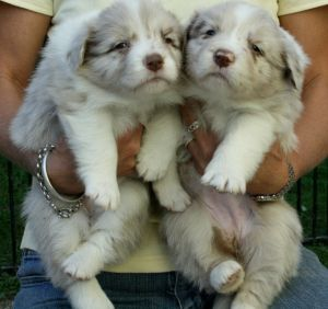 Banjo/Gemma Chocolate Merle girls.