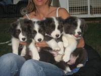 Riva and Kaisha's blue puppies