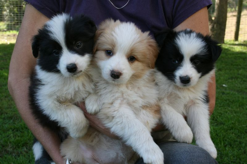 Rowesdale Border Collies Black Red Black